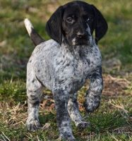 German Shorthaired Pointer Puppies for sale in Denver, CO 80281, USA. price: NA