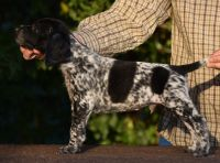German Shorthaired Pointer Puppies for sale in Houston, TX, USA. price: NA