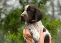 German Shorthaired Pointer Puppies for sale in Eastpointe, MI 48021, USA. price: NA