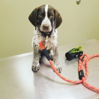 German Shorthaired Pointer Puppies for sale in Banning, CA, USA. price: NA