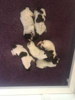 German Shorthaired Pointer Puppies for sale in Wisconsin Dells, WI, USA. price: NA