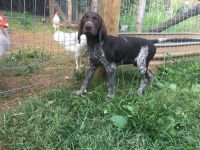 German Shorthaired Pointer Puppies for sale in Knoxville, TN, USA. price: NA