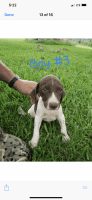 German Shorthaired Pointer Puppies for sale in Bartow, GA 30413, USA. price: NA
