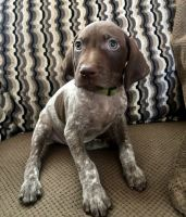 German Shorthaired Pointer Puppies for sale in Moreno Valley, CA 92551, USA. price: NA