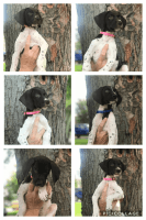 German Shorthaired Pointer Puppies for sale in Big Lake, MN, USA. price: NA