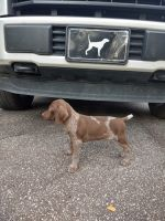 German Shorthaired Pointer Puppies for sale in Bainbridge, GA, USA. price: NA