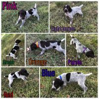 German Shorthaired Pointer Puppies for sale in Goliad, TX 77963, USA. price: NA