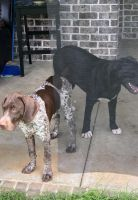 German Shorthaired Pointer Puppies for sale in Bonaire, GA 31005, USA. price: NA