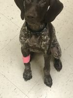 German Shorthaired Pointer Puppies for sale in Norfolk, VA, USA. price: NA