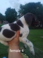 German Shorthaired Pointer Puppies for sale in Luverne, MN 56156, USA. price: NA