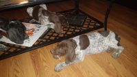 German Shorthaired Pointer Puppies for sale in Leslie, MI 49251, USA. price: NA