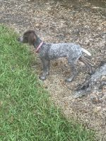 German Shorthaired Pointer Puppies for sale in Starkville, MS 39759, USA. price: NA
