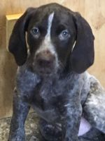German Shorthaired Pointer Puppies for sale in Pulaski, NY 13142, USA. price: NA