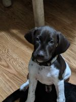 German Shorthaired Pointer Puppies for sale in Scranton, PA, USA. price: NA