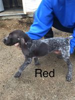German Shorthaired Pointer Puppies for sale in Woodstock, MN 56186, USA. price: NA