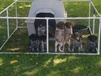 German Shorthaired Pointer Puppies for sale in Caldwell, ID, USA. price: NA