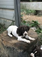 German Shorthaired Pointer Puppies for sale in Shelbyville, TN 37160, USA. price: NA