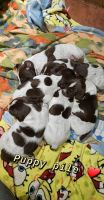 German Shorthaired Pointer Puppies for sale in Emlenton, PA 16373, USA. price: NA