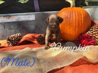 German Shorthaired Pointer Puppies for sale in Bay City, TX 77414, USA. price: NA