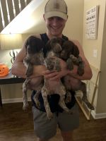 German Shorthaired Pointer Puppies for sale in Acworth, GA, USA. price: NA