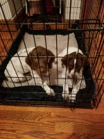 German Shorthaired Pointer Puppies for sale in Haledon, NJ 07508, USA. price: NA