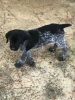 German Shorthaired Pointer Puppies for sale in Glenwood, GA, USA. price: NA