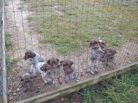 German Shorthaired Pointer Puppies for sale in Cumberland County, VA, USA. price: NA