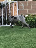 German Shorthaired Pointer Puppies for sale in Bakersfield, CA, USA. price: NA