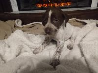 German Shorthaired Pointer Puppies for sale in Home, PA 15747, USA. price: NA