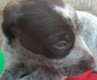 German Shorthaired Pointer Puppies for sale in Lake Balboa, Los Angeles, CA, USA. price: NA