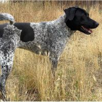 German Shorthaired Pointer Puppies for sale in Moreno Valley, CA, USA. price: NA