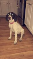 German Shorthaired Pointer Puppies for sale in Vanceboro, NC 28586, USA. price: NA