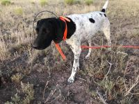 German Shorthaired Pointer Puppies for sale in Tucson, AZ, USA. price: NA