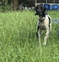 German Shorthaired Pointer Puppies for sale in Haines City, FL, USA. price: NA