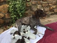 German Shorthaired Pointer Puppies for sale in Eden, NC 27288, USA. price: NA
