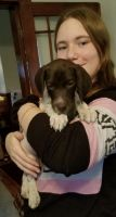 German Shorthaired Pointer Puppies for sale in New Bedford, MA, USA. price: NA