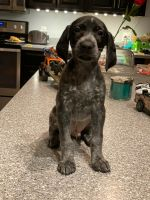German Shorthaired Pointer Puppies for sale in Wingate, NC 28174, USA. price: NA