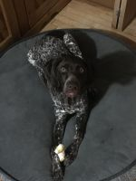 German Shorthaired Pointer Puppies for sale in North Branch, MN, USA. price: NA