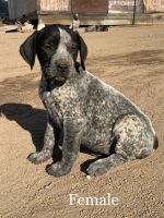 German Shorthaired Pointer Puppies for sale in Oak Hills, CA 92344, USA. price: NA