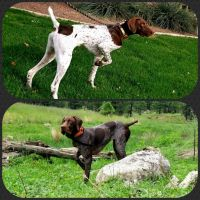 German Shorthaired Pointer Puppies for sale in Mesa, AZ, USA. price: NA