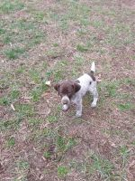 German Shorthaired Pointer Puppies Photos