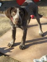 German Shorthaired Pointer Puppies for sale in Merced, CA, USA. price: NA