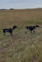 German Shorthaired Pointer Puppies for sale in Meriden, KS 66512, USA. price: NA