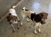 German Shorthaired Pointer Puppies for sale in Amarillo, TX, USA. price: NA