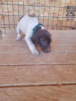 German Shorthaired Pointer Puppies for sale in The Dalles, OR 97058, USA. price: NA