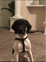 German Shorthaired Pointer Puppies for sale in Addison, TX, USA. price: NA