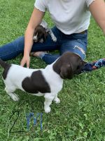 German Shorthaired Pointer Puppies for sale in 13605 Quartz Valley Rd, Fort Jones, CA 96032, USA. price: NA