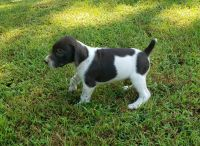 German Shorthaired Pointer Puppies for sale in Symsonia, KY 42082, USA. price: NA