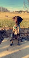 German Shorthaired Pointer Puppies for sale in Keymar, MD 21757, USA. price: NA