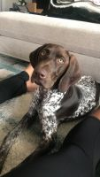 German Shorthaired Pointer Puppies for sale in Buda, TX 78610, USA. price: NA